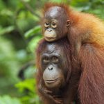 http://www.orangutan.com/palmed-off-is-your-dinner-killing-orangutans/